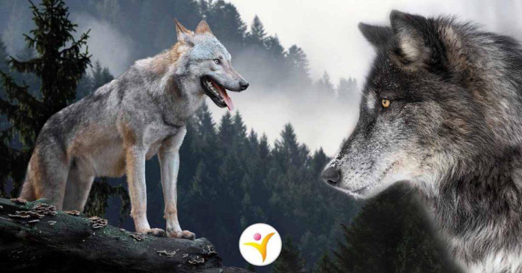 De metafoor van de twee wolven
